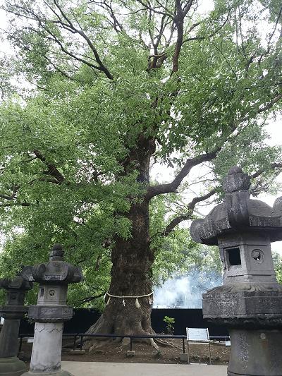 上野東照宮のご神木
